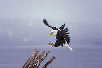 Bald eagle in flight in Homer, Alaska.