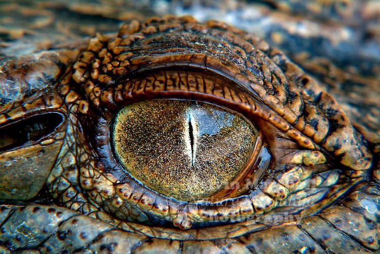 Close up shot (Macro) of the eye of a salt water Crocodile.