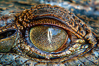 Close up shot (Macro) of the eye of a salt water Crocodile.
