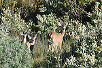 Mule deer doe & fawns,  FB 405 Back faded photo