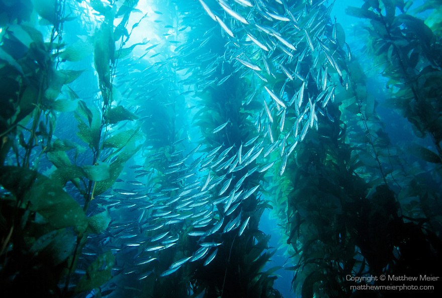 Catalina Island, Channel Islands, California; Jack Mackerel (Trachurus symmetricus) and Giant Kelp (Macrocystis pyrifera)