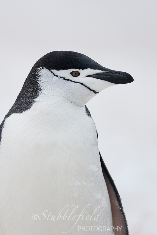 Chinstrap Penguin (Pygoscelis antarcticus) at Half Moon Bay, South Shetland Island, Antarctica.