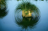 Rispen-Segge, Rispensegge, Segge, Bult, Seggenbult, Carex paniculata, greater tussock sedge