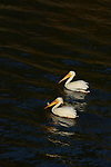 American white pelican pair (Pelecanus erythrorhynchos), the male with his nuptial bill, paddle a river in the midwestern North America.