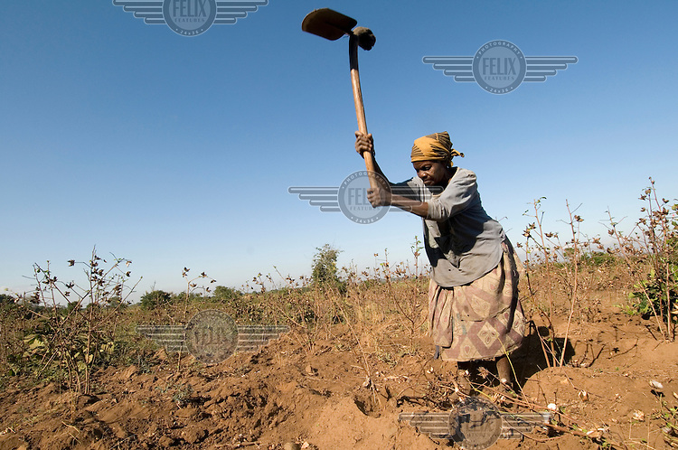 Chimvana Pasiya uses a shovel to clear cotton plants after the harvest.