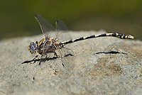 389030016 a wild male gray sanddragon dragonfly progomphus borealis perches on a rock along piru creek at frenchmans flat los angeles county california
