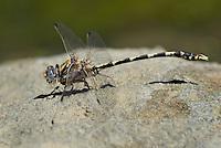 389030016 a wild male gray sanddragon dragonfly progomphus borealis perches on a rock along piru creek at frenchmans flat los angeles county california