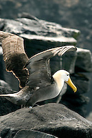 Waved albatrosses can fly for hours using their massive wingspan to glide over the ocean currents. But their huge wings and slender bodies make if difficult taking off. To make it easier they walk to the rocky cliffs of Española next to the cost...and jump into the wind. ..