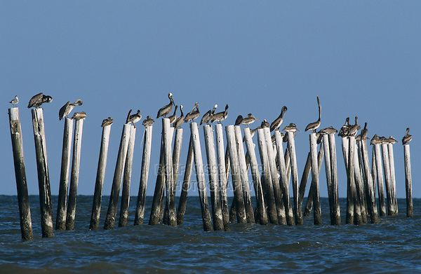 Brown Pelican, Pelecanus occidentalis,sitting on posts, Port Aransas, Texas, USA, December 2003