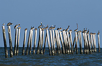 Brown Pelican, Pelecanus occidentalis,sitting on posts, Port Aransas, Texas, USA, December 2003