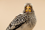 Southern Yellow-billed Hornbill (Tockus leucomelas), Kruger National Park, South Africa