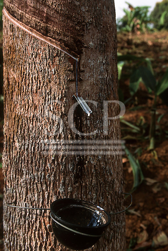 Acre State, Brazil. Rubber tree being tapped with a plastic bowl catching the rubber sap and a metal drip.