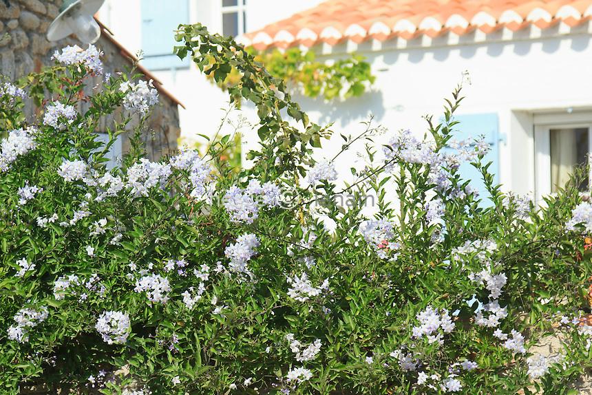Solanum jasminoides = Solanum laxum (France, Vendée (85), île de Noirmoutier, Noirmoutier-en-l'Île, hameau du Viel) // Jasmine Nightshade, Solanum jasminoides = Solanum laxum (France, Vendée, île de Noirmoutier)