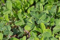 Wiesen-Klee, Wiesenklee, Rot-Klee, Rotklee, Klee, Blatt, Blätter vor der Blüte, Trifolium pratense, Red Clover