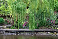 USA; Oregon; Portland; Crystal Springs Rhododendron Garden; Weeping willow above small creek and blooming azalea.