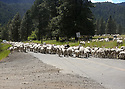 A large flock of sheep walk on a paved road in the mountains. Stock photography by Olympic Photo Group