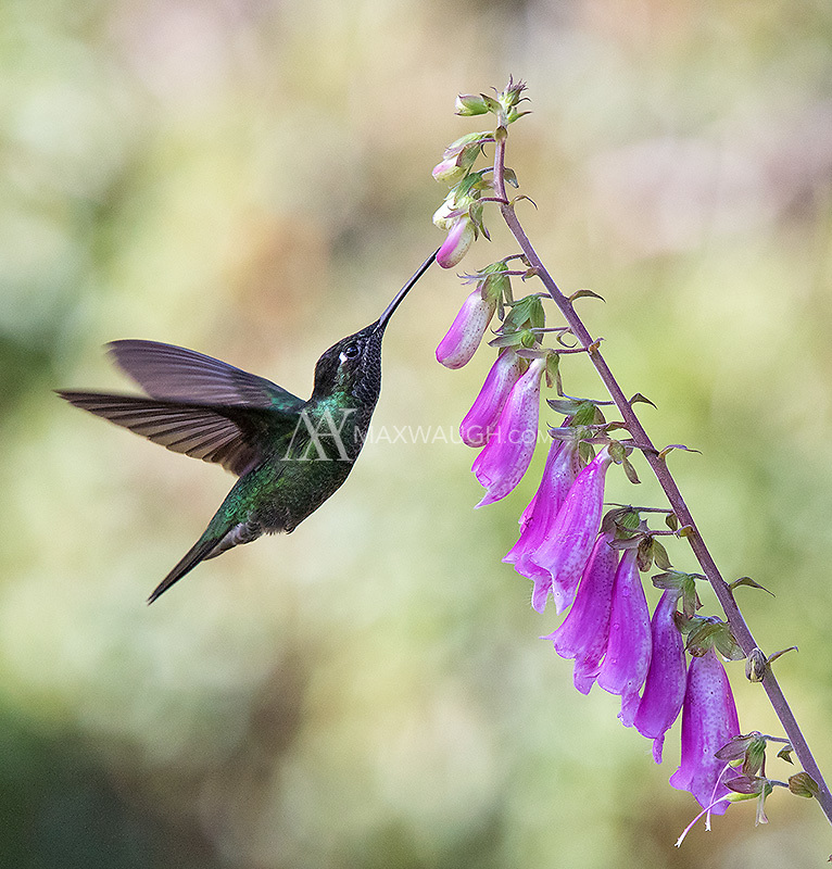 The Magnificent hummingbird is a common species in the central highlands of Costa Rica.