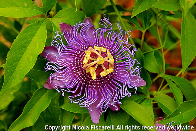 A  close up of a purple colored Passionflower ( Passiflora incarnata )   in the sea of green foliage.