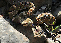 A Northern Pacific Rattlesnake emerging from its den in Washington State.
