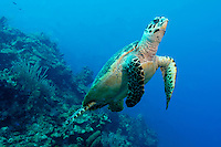 Hawksbill Turtle (Eretmochelys imbriocota) swimming over a reef in Little Cayman.