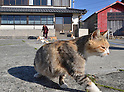 An army of cats inhabit the cat paradise of Aoshima island, off the coast of Ozu city in Ehime prefecture on Tuesday, March 22, 2016. More than 100 cats live on the tiny island which has only 16 elderly  residents. The cats were originally brought to the island to kill the mice infesting local fishermen's boats. (Photo by Yoshio Tsunoda/AFLO)