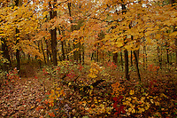 Path in the woods Series: Autumn in the forest along the path, Missouri USA