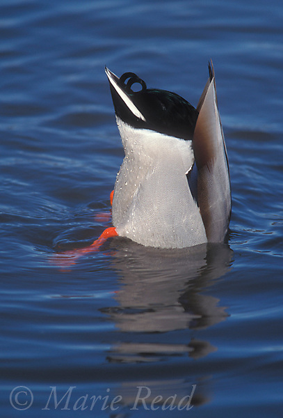 Mallard (Anas platyrhynchos) male in breeding plumage, feeding by upending in the water, Ithaca, New York, USA<br /> Slide # B24-367