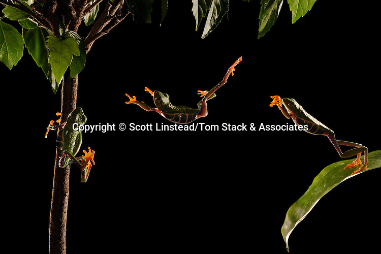 A nocturnal red-eyed tree frog jumps from one perch to another in the rainforest.