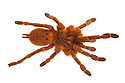 Baboon Spider {Pterinochilus murinus} photographed on a white background. Captive, originating from Africa. website