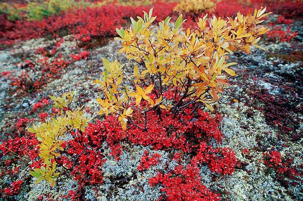 Bearberry (Arctostaphylos sp.) fall colors, Denali Highway, Alaska, USA