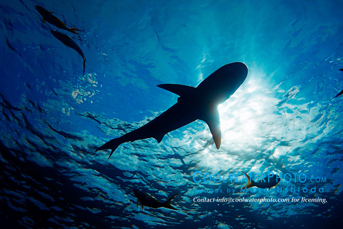silhouette of Caribbean reef shark, Carcharhinus perezi, West End, Bahamas, Atlantic Ocean