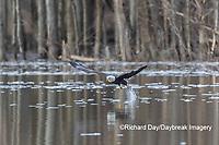 00807-03804 Bald Eagle (Haliaeetus lecocephalus) fishing Clinton Co. IL