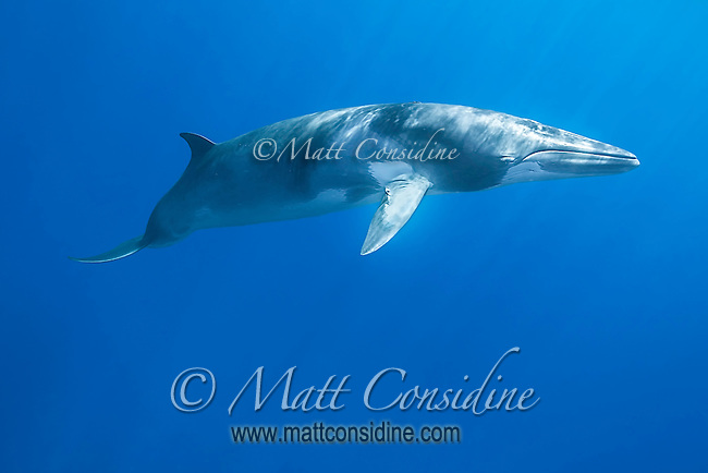 The sleek Minke whale returns each year to the sheltered waters of the Great Barrier Reef. Minkes seem very curious swimming up and making multiple passes. (Photo by Wildlife Photographer Matt Considine)