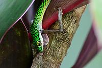 """Cobra cipó captura sapo.Cobra-cipó é o nome popular das serpentes do gênero Chironius. Também é conhecida pelo nome boiobi, que é de origem tupi e que significa """"cobra verde"""", através da junção dos termos mboîa (""""cobra"""") e oby (""""verde"""").[1]<br /> Acre<br /> Foto Altino Machado<br /> <br /> <br /> A coloração da maioria das espécies do gênero é uma mistura de tons de verde, vermelho e laranja, com olhos amarelos e negros.<br /> <br /> Essas espécies são muito agitadas e velozes. Geralmente, fogem no momento em que são avistadas. São muito ariscas e podem morder caso impeçam sua fuga. Sua coloração as ajuda a confundirem-se com o ambiente, principalmente por passarem a maior parte do tempo nas árvores e arbustos (daí o nome popular """"cobra-cipó"""", pois elas realmente lembram cipós ao repousarem em plantas). Atingem cerca de 1,20 metros, sendo serpentes muito finas e relativamente compridas. Alimentam-se de lagartos, pássaros e pererecas.<br /> <br /> A reprodução é ovípara. Põem entre quinze e dezoito ovos com o nascimento previsto para o início da estação chuvosa."""