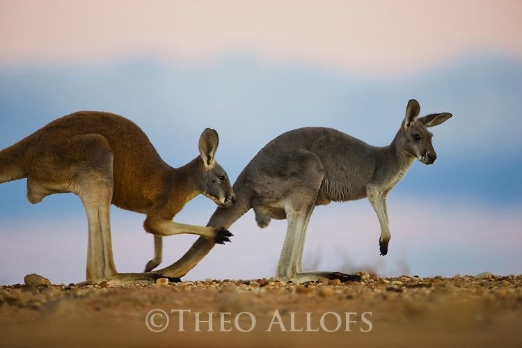 Australia,  NSW, Sturt National Park;  red kangaroo (Macropus rufus) male smelling if female is in oestrus; the red kangaroo population increased dramatically after the recent rains in the previous 3 years following 8 years of drought