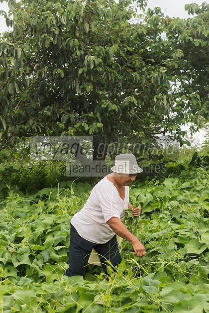 France, &icirc;le de la R&eacute;union, Chaloupe Saint-Leu,  Maximilia Vitry cueille des br&egrave;des de chouchou pour le repas &agrave; la ferme  //  France, Reunion island (French overseas department),Chaloupe Saint Leu, Maximilia Vitry picks chayotte br&egrave;des, green eatable leaves,  for dinner at the farm<br /> <br /> Auto N&deg;: 2014-110
