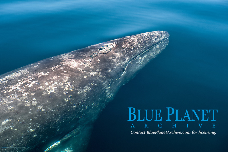 gray whale, Eschrichtius robustus, Ojo de Liebre Lagoon, Baja California Sur, Mexico, Pacific Ocean