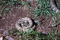 Rattlesnake (Crotalinae) in Coiled Position and Rattlesnake slithering in Grass, South Okanagan Valley, BC, British Columbia, Canada