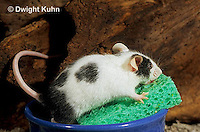 MU61-009z  Domestic Pet Mouse - drinking from sponge water source