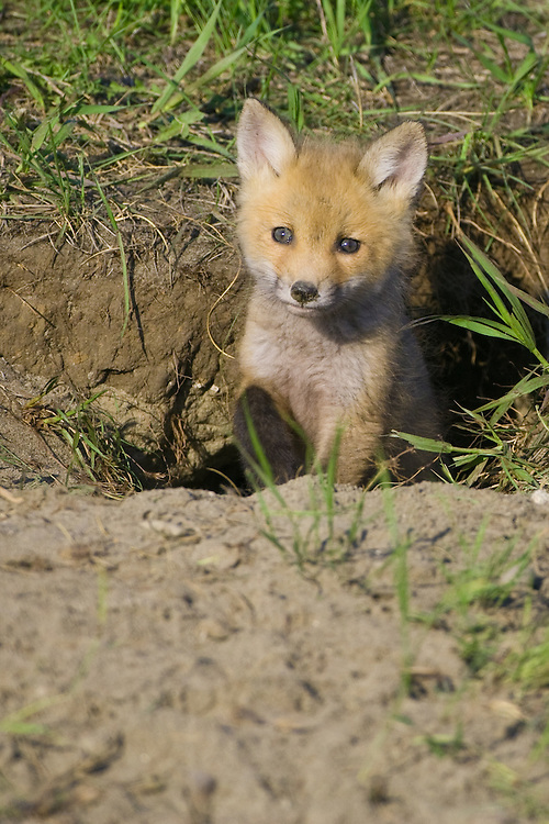 Red Fox Kit emergeing from its den