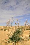 Israel, Negev, Common Asphodel flowers in the desert