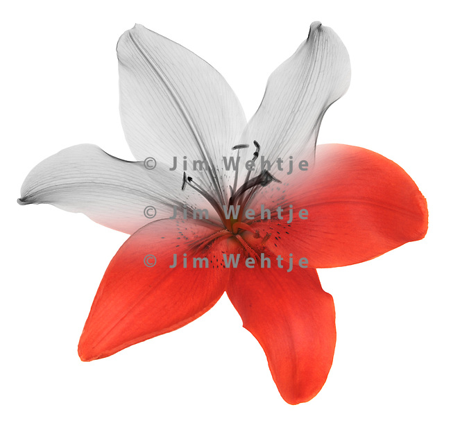 Blended x-ray image of an Asiatic lily (top view) by Jim Wehtje, specialist in x-ray art and design images.