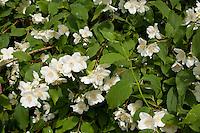 Falscher Jasmin, Gewöhnlicher Pfeifenstrauch, Philadelphus coronarius, Sweet Mock Orange, Seringat des jardins