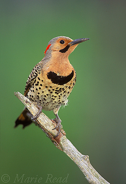 Northern Flicker (Colaptes auratus) male front view (yellow-shafted form), New York, USA<br /> Slide # B96-60
