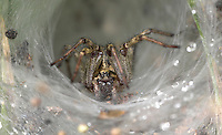 Common Labyrinth Spider - Agelena labyrinthica