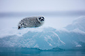 Norway, Svalbard, ringed seal pup (Pusa hispida) on ice floe
