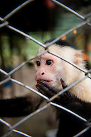 Capuchin Monkey. Costa Rica Wildlife Sanctuary run by Vanessa Lizano and her family. Moin, Limon, Costa Rica.
