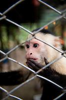 Capuchin Monkey. Costa Rica Wildlife Sanctuary run by Vanessa Lizano and her family. Moin, Limon, Costa Rica.