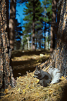 Kaibab Squirrel or tassel-eared squirrel (Sciurus aberti kaibabensis).in ponderosa pine forest north rim of Grand Canyon, Kaibab Plateau, Arizona.  Fall.