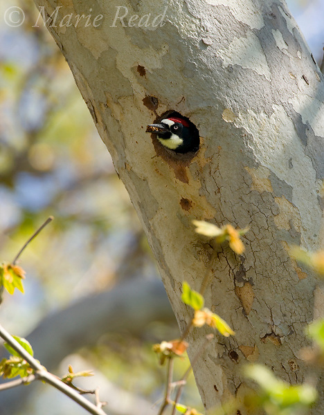Acorn Woodpecker (Melanerpes formicivorus) male excavating nest hole, Orange County, California, USA